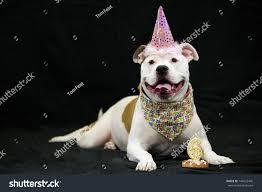 pitbull halloween background pit bull dog wears pink birthday stock photo 140532445 shutterstock