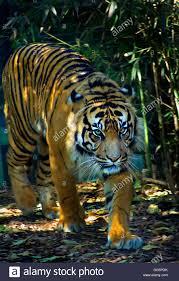 tiger walking in jungle stock photo 61593075 alamy