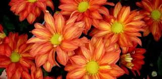 how to grow chrysanthemums in your garden today u0027s homeowner