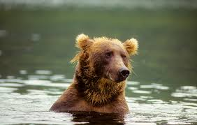 Animal Planet Documentary Grizzly Bears Full Documentaries - bear witness werner herzog s grizzly doc on man and nature