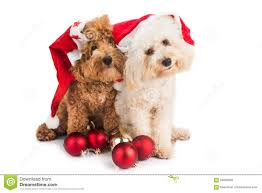 two cute poodle puppies in santa costume with christmas ornament