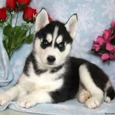 puppies for sale siberian husky puppies for sale in pa