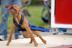 land of giants american pitbull terriers pit bulls the most feared and misunderstood dog breed