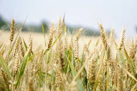 100 pdf wheat in a global environment vulnerability of rice