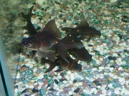 high quality fancy goldfish coldwater fish at aquarist