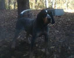 bluetick coonhound in tennessee bluetick coonhound dog breed information and pictures