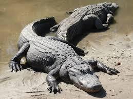 what eats alligators and crocodiles