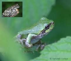 gray treefrog naturally curious with