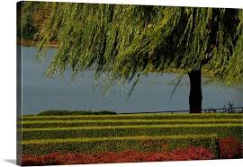 branches from a weeping willow tree gently in the wind wall