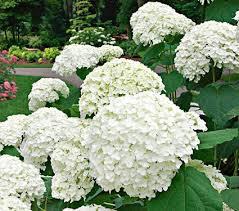hydrangea white hydrangea arborescens incrediball white flower farm