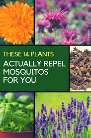 mosquito repellent plants 14 plants that keep them away