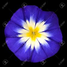 blue flower blue flower with white yellow shaped center isolated on