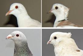 of a feather pigeon head crest findings extend to domesticated doves