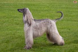 afghan hound times afghan hound or borzoi which is best for you pets4homes