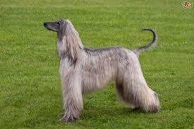 afghan hound speed the elegant afghan hound pets4homes