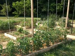 Tomatoes Trellis 5 Ways To Trellis Tomato Plants Slow Food Asheville