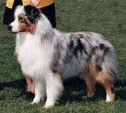 australian shepherd eye color genetics the australian shepherd usasa