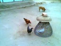 Backyard Poultry In India Backyard Poultry Farming A Source Of Better Livelihood For Rural