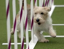 westminster australian shepherd 2014 mutts welcome at westminster dog show u0027s first agility trial u2013 the