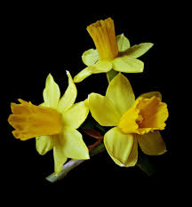 free stock photo of close daffodils dark background