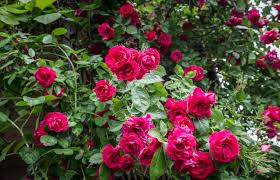 zone 8 rose bushes choosing roses for zone 8 gardens