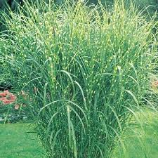 the dirt on gardening ornamental grasses are the for you