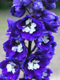 delphinium flowers delphinium flowers pacific delphinium plants