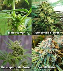 Light Cycle For Weed Marijuana Flowering Stage U0026 Light Cycles