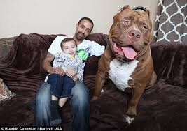 american pitbull terrier uk law all aboard hulk the world u0027s biggest pit bull with a 28 inch wide