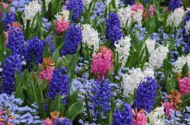 hyacinths at the butchart gardens victoria bc canada in early