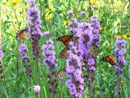 plants native to illinois liatris aspera rough blazing star mi good for butterflies