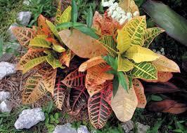 Flowering Shrubs For Partial Sun - fall annuals and shrubs for south florida garden club