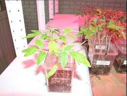 Led Grow Lights Cannabis Led Grow Light Apply Projects Grow Marijuana Lights Projects