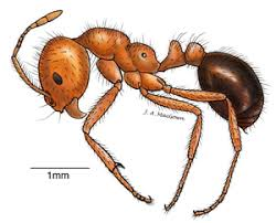 fire ant physiques extension
