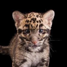 clouded leopard national geographic