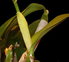 cattleya orchids cattleya orchid care
