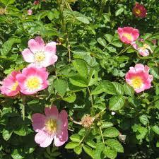 planting a native hedge dog rose hedge plants rosa canina hedging