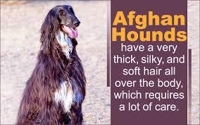 afghan hound group grooming afghan hound