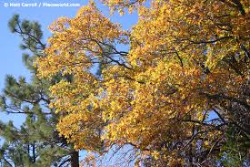fall colors california black oak quercus kelloggii