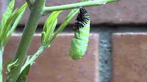monarch caterpillar turns into a chrysalis real time youtube
