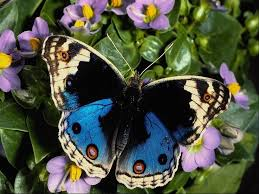 beautiful butterfly photos more beautiful butterfly pictures