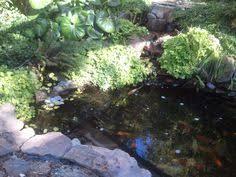growing watercress raising golden tilapia at home in aquaponic