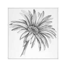 drawn daisy gerbera daisy pencil and in color drawn daisy