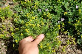 native american edible plants eat your weeds summer guide oakland berkeley bay area