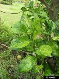 Symptoms Of Viral Diseases In Plants - citrus diseases texas plant disease handbook