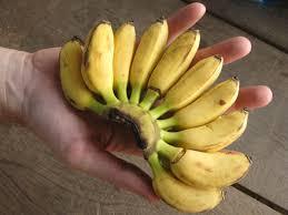 tiny banana small banana vs regular banana difference redflagdeals com forums