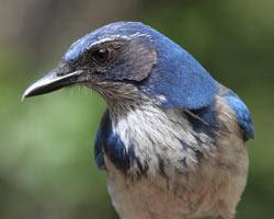 California Backyard Birds by Wild Birds Unlimited Top 30 Backyard Birds I Novato Ca