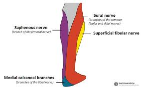 Nerves In The Knee Anatomy The Tibial Nerve Course Motor Sensory Teachmeanatomy