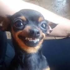 Chihuahua Meme - smiling chihuahua meme stickers by crunkcolin redbubble