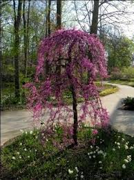 redbud ruby falls has the best parentage weeping tree trees